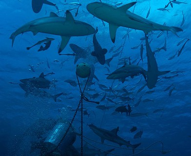 North Horn Shark Feed