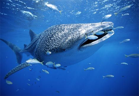 whale-shark-with-fish