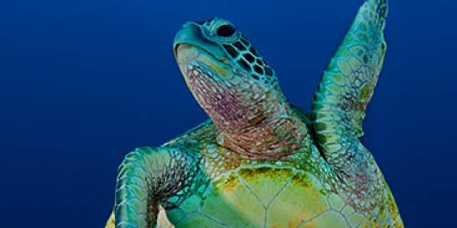 Raine Island Turtles