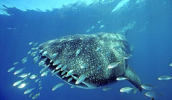 Ningaloo Whale Sharks